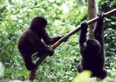 baby-gorillas-playing-bwindi