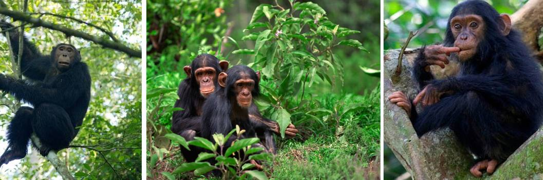 kyambura-gorge-chimps