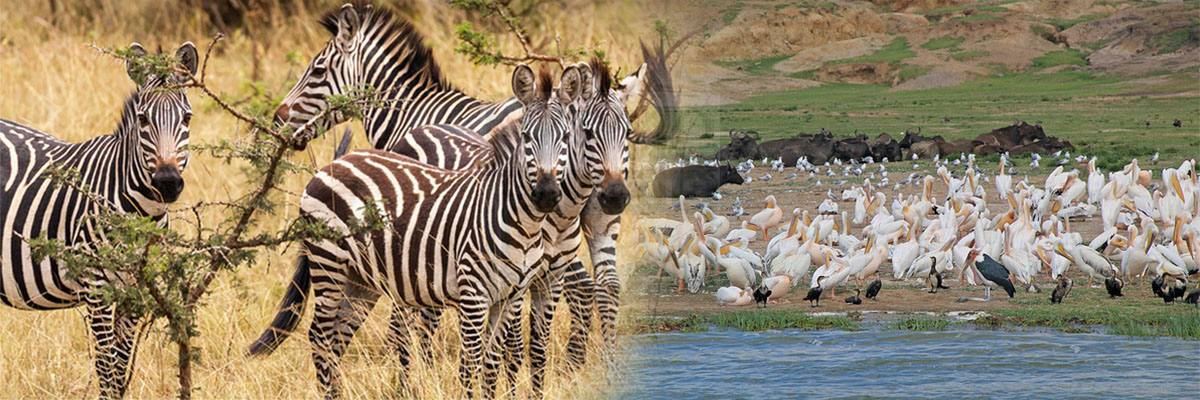 wildlife-birding-safaris-uganda